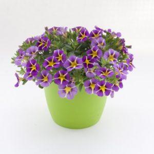 Mini-petunia